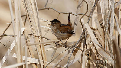 Photograph - Song Of The Wren by Sue Harper