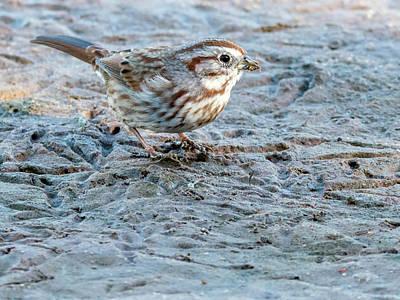 Photograph - Song Sparrow 3521-112317-1cr by Tam Ryan