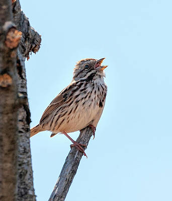 Photograph - Song Sparrow Singing by Lara Ellis
