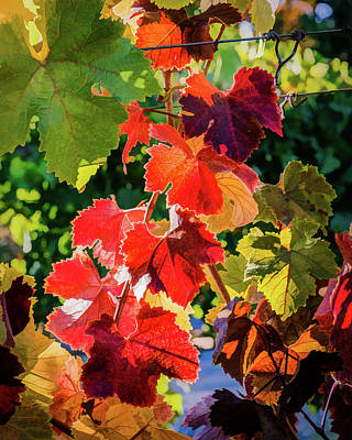 Photograph - Sonoma Autumn Grapevine by Gary Eyring