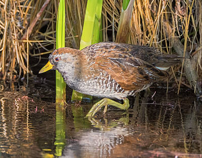 Photograph - Sora In The Marsh by Loree Johnson