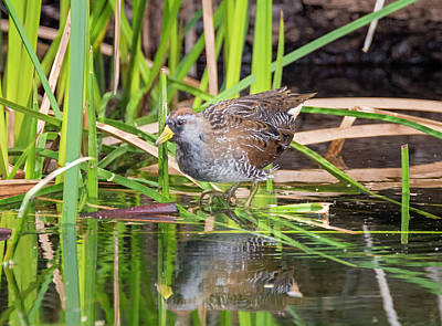Photograph - Sora Reflecting by Loree Johnson