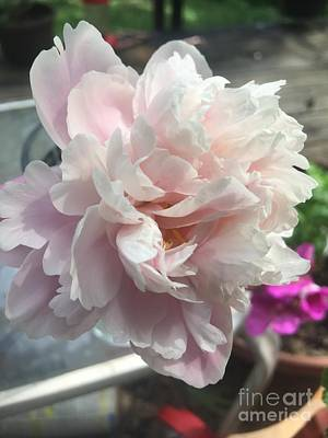 Miles Davis - Sorbet peonie perfection by Holly Cottrell