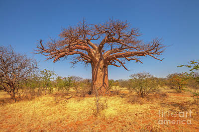 Photograph - South African Baobab Tree by Benny Marty