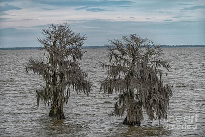 Photograph - Southern Bald Cypress Tree's - Lake Moultrie by Dale Powell