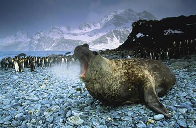 Photograph - Southern Elephant Seal Mirounga Leonina by Art Wolfe