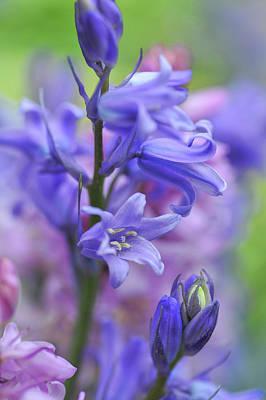 Photograph - Spanish Bluebell by Jenny Rainbow