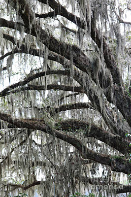 Photograph - Spanish Moss Perspective  by Carol Groenen