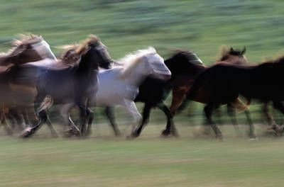 Photograph - Spanish Mustangs Equus Caballus by Eastcott Momatiuk