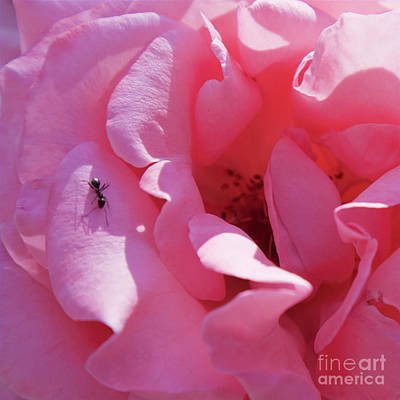 Photograph - Spanish Pink Rose - Square Format by Tatiana Travelways