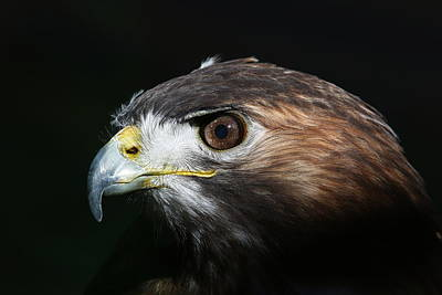 Art Print featuring the photograph Sparkle In The Eye - Red-tailed Hawk by Debi Dalio