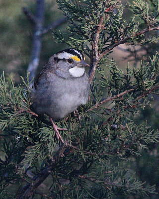 Photograph - Sparrow 5371 by John Moyer