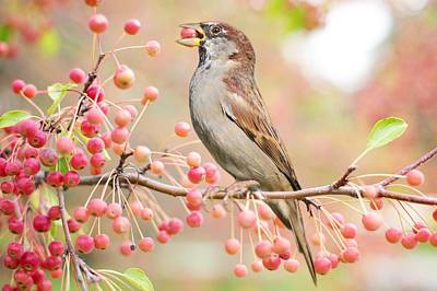 Photograph - Sparrow Eating Berries by Top Wallpapers