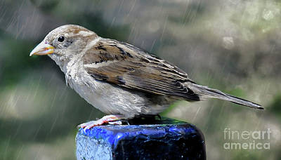 Photograph - Sparrow In The Rain by Elaine Manley