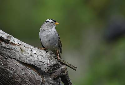 Photograph - Sparrow On Tree Bark by Fraida Gutovich