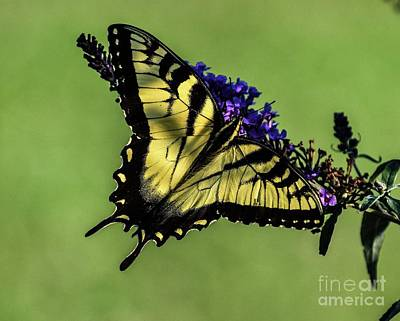 Hollywood Style - Special Beauty Of The Eastern Tiger Swallowtail  by Cindy Treger