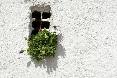 Photograph - Special Gardening Creativity - Instantly Adorable African Daisies On A Rough Stuccoed Wall by Georgia Mizuleva