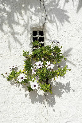 Photograph - Special Gardening Creativity - Instantly Adorable African Daisies On A Stucco Wall  by Georgia Mizuleva