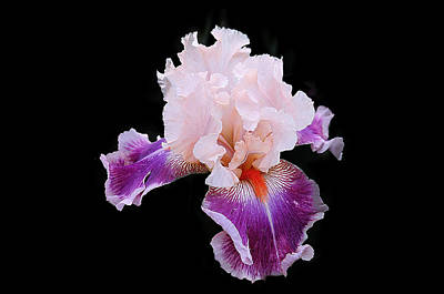 Mixed Media - Spectacular Bearded Iris by Clive Littin