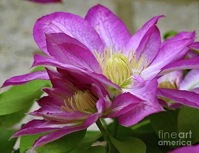 Kids Cartoons - Spectacular Blooms Of A Spring Clematis by Cindy Treger