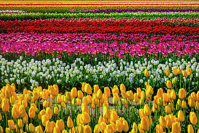 Photograph - Spectacular Endless Tulip Fields by Garry Gay