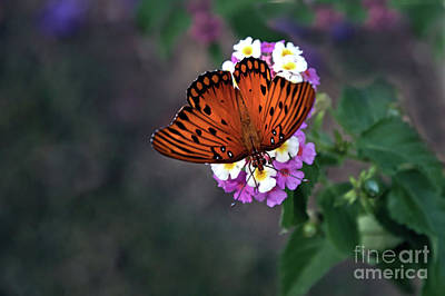 Photograph - Spectacular Fall Butterfly by Amy Dundon