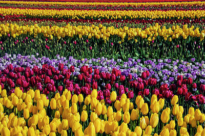 Photograph - Spectacular Rows Of Colorful Tulips by Garry Gay