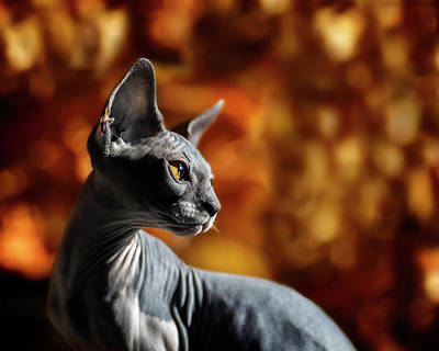 Photograph - Sphynx In Fall Bokeh by Wes and Dotty Weber