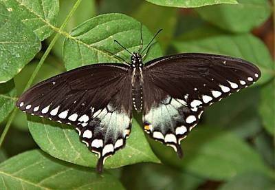 Insect Photograph - Spicebush Sswallowtail Papilio Troilus by Zeesstof