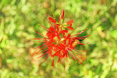 Photograph - Spider Lily Pop by Kay Brewer