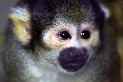 Photograph - Spider Monkey by Anthony Jones