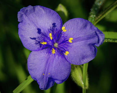 Photograph - Spiderwort Flower by Jeff Phillippi