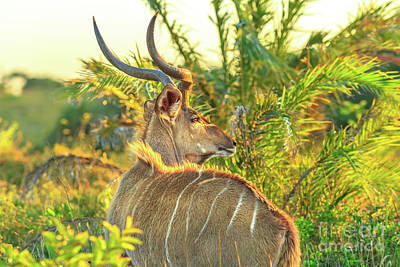 Photograph - Spiral Horned Antelope by Benny Marty