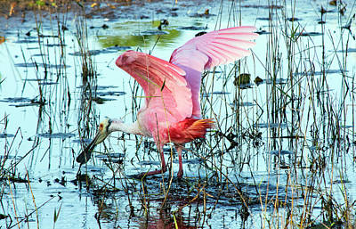 Photograph - Spoonbill Landing by William Tasker