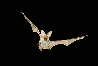Photograph - Spotted Bat Euderma Maculatum Flying At by Michael Durham/ Minden Pictures