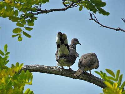Girl Wall Art - Photograph - Spotted Doves Pair by Joan Stratton