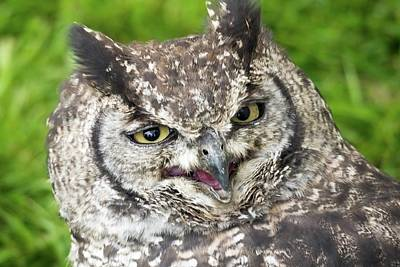 Photograph - Spotted Eagle Owl Spotted Being Not So Stern by James Lamb