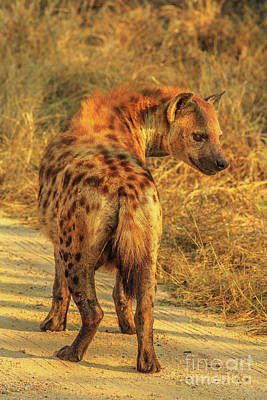 Photograph - Spotted Hyena South Africa by Benny Marty