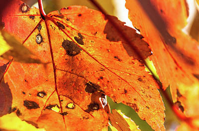 Photograph - Spotted Red Leaf by James L Bartlett