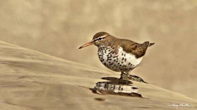 Photograph - Spotted Sandpiper by Harry Moulton