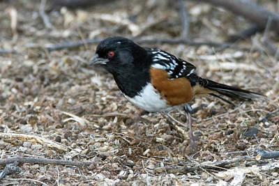 Photograph - Spotted Towhee 4609-021619 by Tam Ryan
