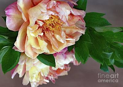 Watercolor Butterflies - Spring Beauty - Itoh Peony by Cindy Treger