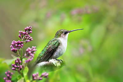 Birds Royalty-Free and Rights-Managed Images - Spring Beauty Ruby Throat Hummingbird by Christina Rollo