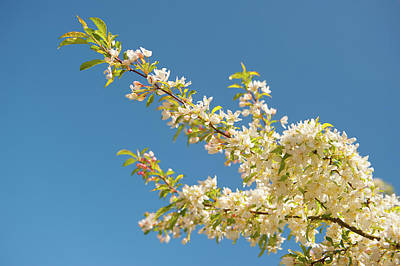 Photograph - Spring Blossom Branch by Helen Northcott