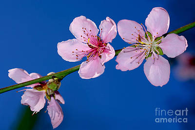 Photograph - Spring Blossoms On Blue Sky By Kaye Menner by Kaye Menner