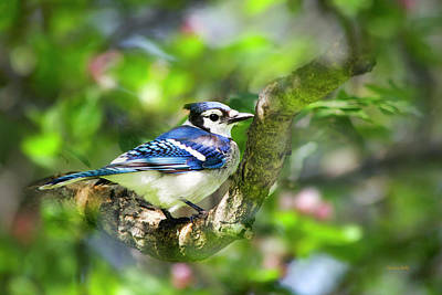 Photograph - Spring Blue Jay by Christina Rollo