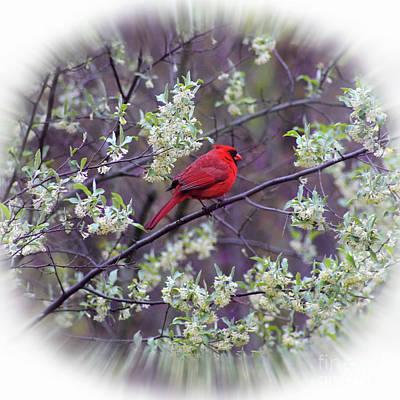 Photograph - Spring Cardinal Square by Karen Adams