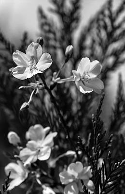 Photograph - Spring Cherry Bw  by Keith Smith
