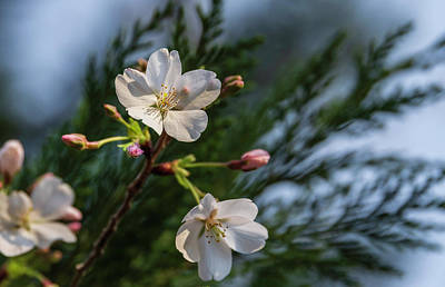 Photograph - Spring Cherry Flowers by Keith Smith