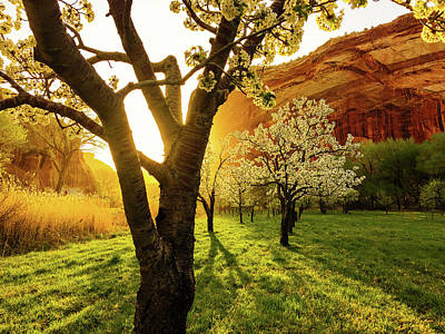Photograph - Spring Fruit Trees Glowing in Morning Light by Dixon Pictures